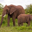 Two Elephants in Kenya — Stock Photo