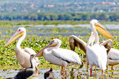 Some Pelicanos in the Lake Naivasha — Stock Photo