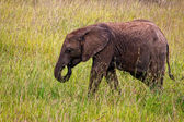 Small Elephant in Kenya — Stock Photo