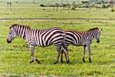 Zebras — Fotografia Stock