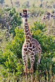 The Small Giraffe — Stock Photo