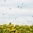 Birds over sunflowers — Stock Photo