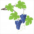 Grape vine — Stock Vector