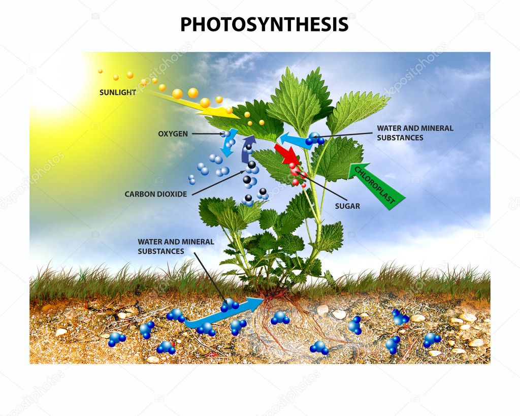 Showing the process of photosynthesis by nettle with text. — Stock Photo #10457997