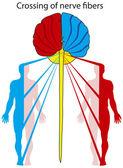 Crossing of nerve fibers — Stock Vector