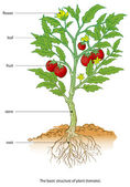 Tomato — Vetor de Stock