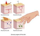 Skin sensors — Stock Vector