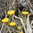 Coltsfoot — Stock Photo #10200202