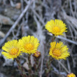 Coltsfoot — Stock Photo #10200214