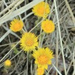 Coltsfoot — Stock Photo #10200242