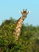 Curious giraffe — Stock Photo