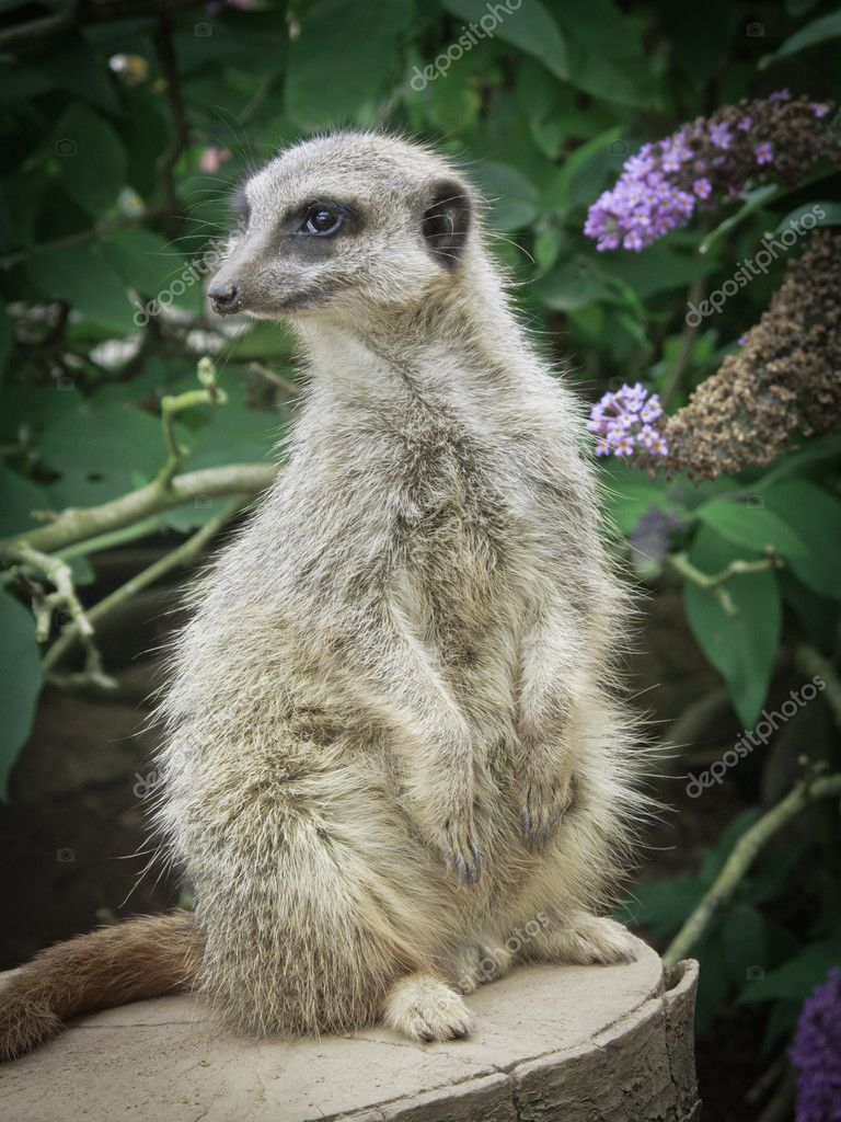 Meercat watching out for danger — Stock Photo #8769578