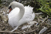 Swan Nest — Stock Photo