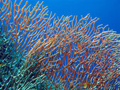 Coral reef with gorgonian — Stock Photo