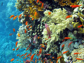 Coral reef with shoal of orange fishes — Stock Photo