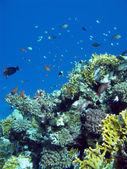 Mercan kayalığı egzotik balıkları ile — Stok fotoğraf