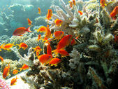 Coral reef with orange fishes — Stock Photo