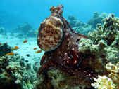 Coral reef with octopus — Stock Photo