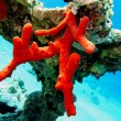 Coral reef with red sponge — Stock Photo #9668484