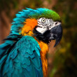 Beautiful Blue and Gold Macaw - Parrot Portrait — Foto de Stock