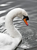 Swan of the silver lake - Portrait — Stock Photo