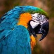 Beautiful Blue and Gold Macaw - Parrot Portrait 02 — Stock Photo