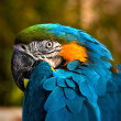 Beautiful Blue and Gold Macaw - Parrot Portrait 03 — Stock Photo