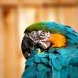 Beautiful Blue and Gold Macaw - Parrot Portrait 05 — Stock Photo