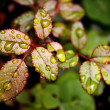 Young Rose leaves - Horticulture — Stock Photo