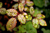Young Rose leaves - Horticulture — Foto de Stock