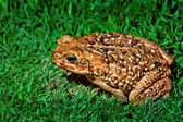 Frog on the grass — Stock Photo