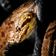 Jamaican Boa — Stock Photo