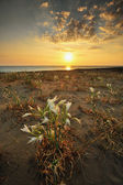 Coastal flower field at sunset — Stock Photo
