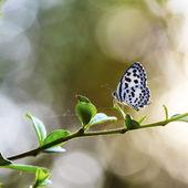 Linda borboleta no Prado. menor grama azul zizina otis — Fotografia Stock