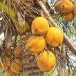 Clusters of freen coconuts close-up hanging on palm tree — Stock Photo