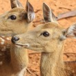 Closeup red deer. — Stock Photo