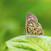 Beautiful butterfly. Lesser Grass Blue Zizina otis. — Stock Photo