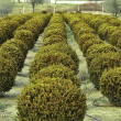 Buxus nana pumila — Stock Photo