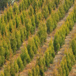 Small trees in a row — Stock Photo