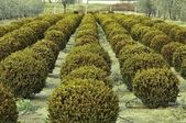 Buxus nana pumila — Stock Photo