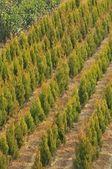 Petits arbres dans une rangée — Photo