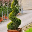 Ornamental Conifer — Stock Photo