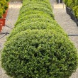 Stock Photo: Buxus pumila