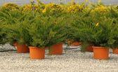 Ornamental Conifer — Stock Photo