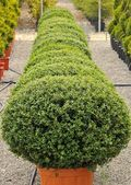 Buxus pumila — Stock Photo