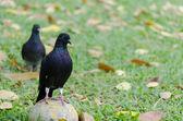 Pigeons — Foto Stock