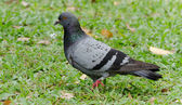 Pigeon — Foto Stock