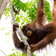Royalty-Free Stock Photo: Orangutan hanging