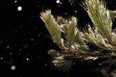 Pine branch — Stockfoto