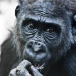 Gorilla Portrait — Stock Photo #9154594